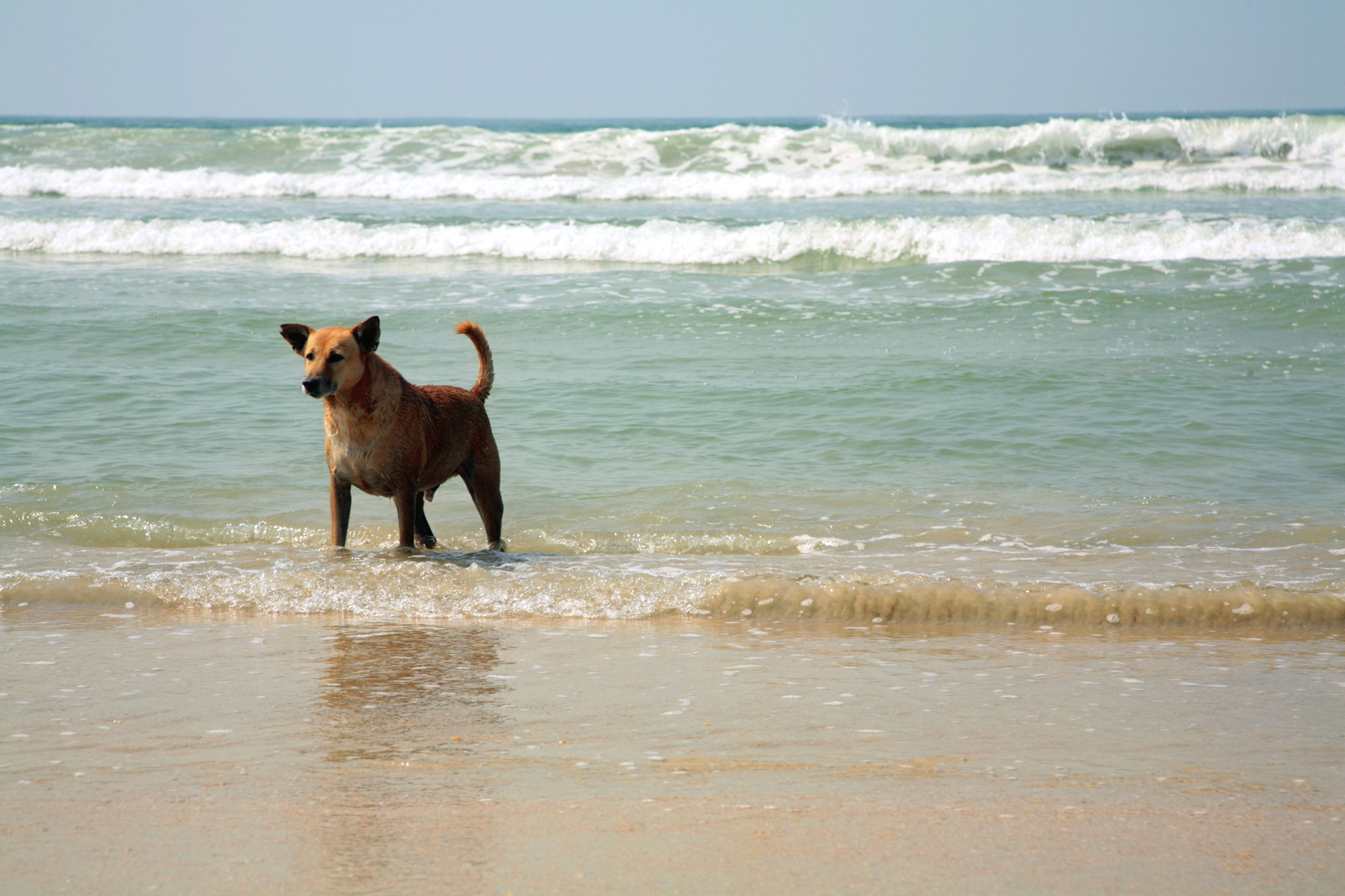 Dog playing in the surf in a dog-friendly beach in florida