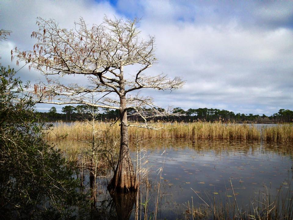 Bare tree and yellowing grasses in Campbell Lake, one of the rare dune lakes in Northwest Florida's Topsail Hill Preserve State Park