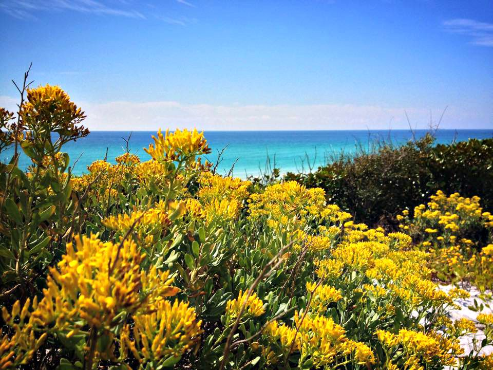Yellow-flowering shrubs line a hill above the beach and Gulf at Topsail Hill State Park in Northwest Florida.