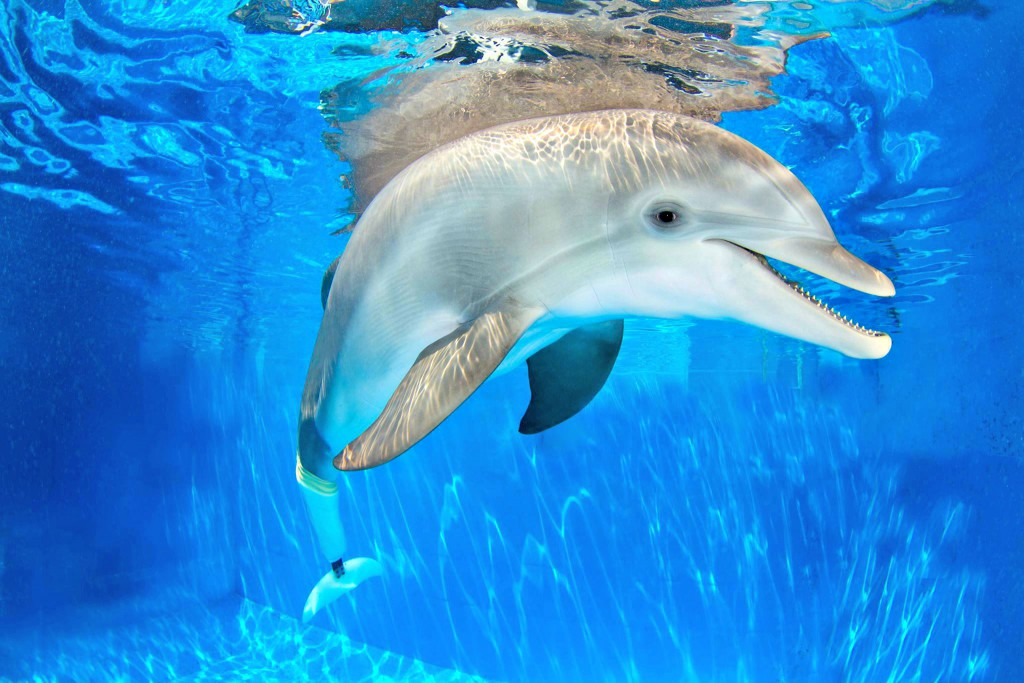 Winter, the dolphin with the prosthetic tail, swims in her tank at the Clearwater Marine Aquarium.