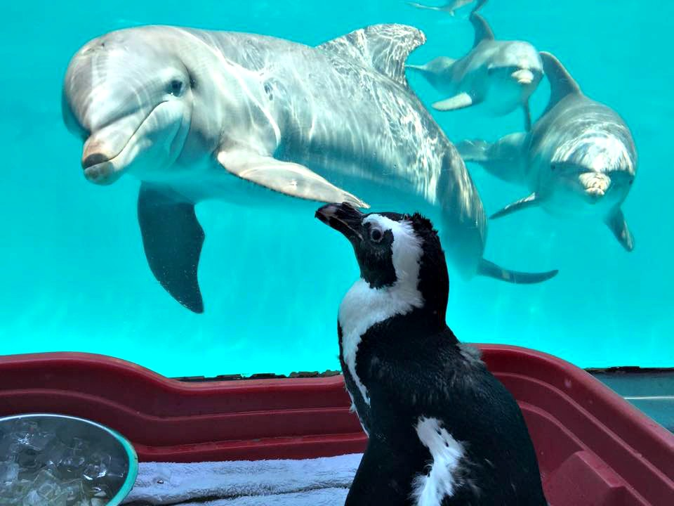 A trio of curious dolphins and a penguin eye each other at Gulfarium in Fort Walton Beach.