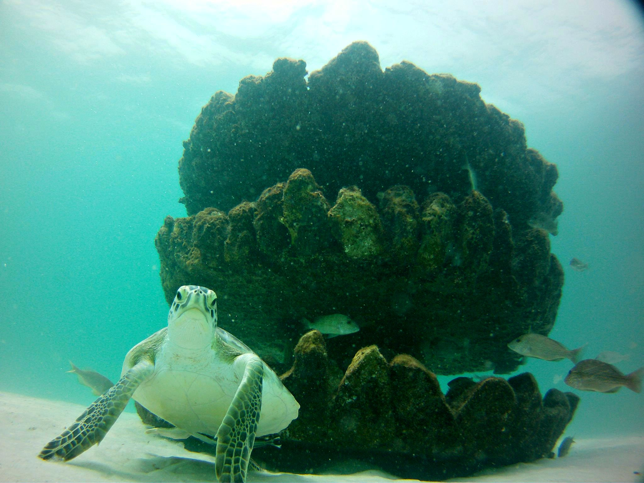 Giant sea turtle beside part of the artificial reef in the Gulf off the coast of Navarre Beach, Florida.