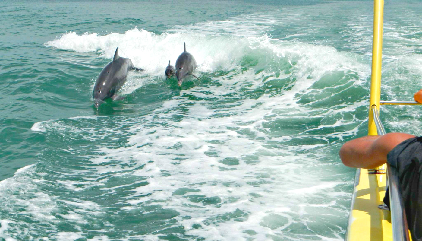 Bottlenose dolphins breaching in the wake of The Southern Star Destin dolphin cruise.