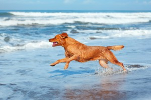 Golden Retriever enjoying the surf on the Gulf Coast.