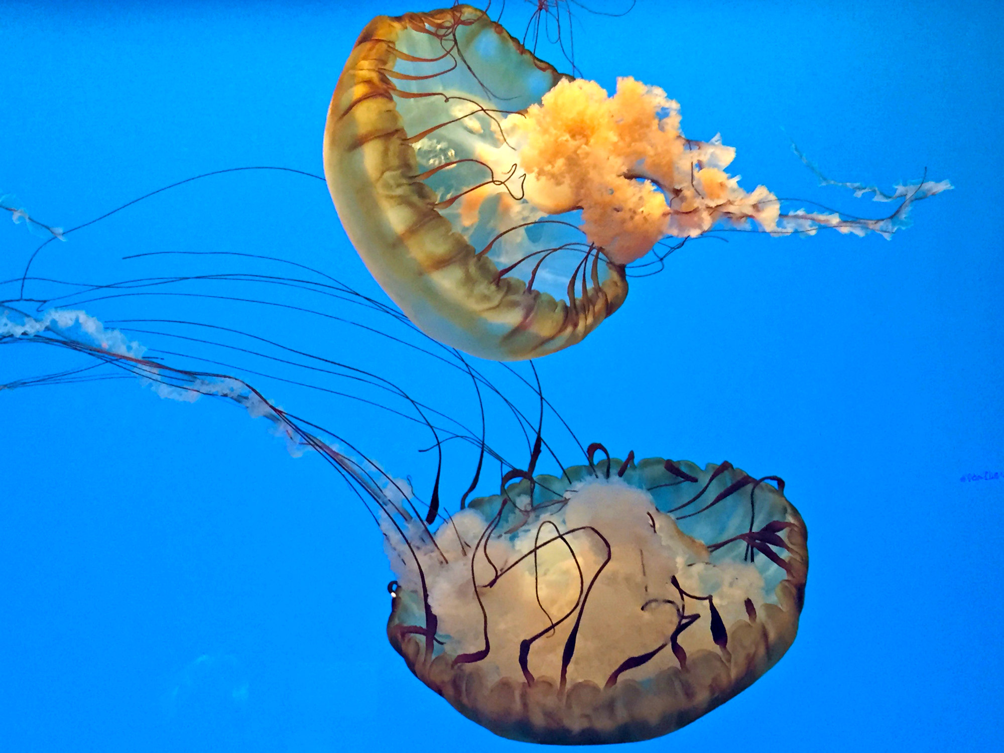 Pair of yellow-hued box jellyfish swim in an aquarium.