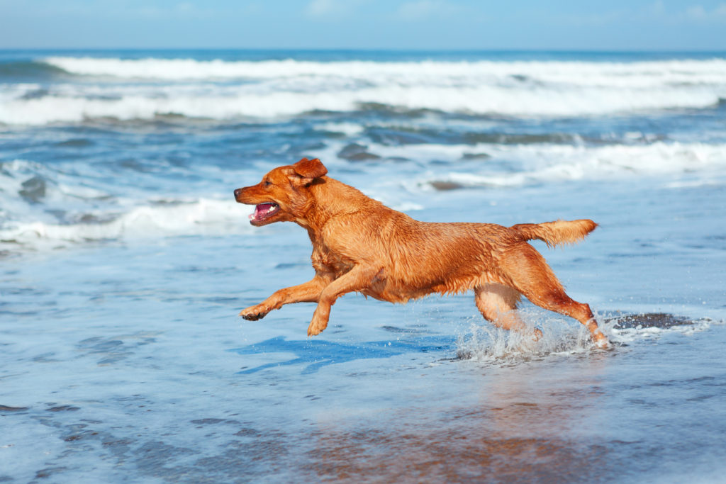 dog playing in the waves at the beach